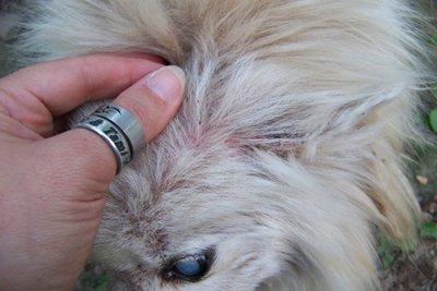 Cat Flea Comb Bloody