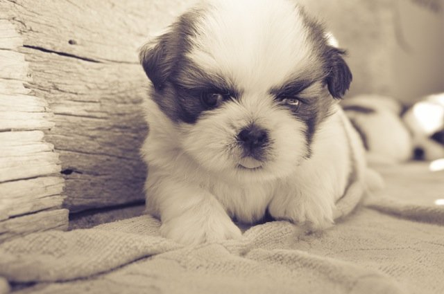 teddy bear dogs puppy