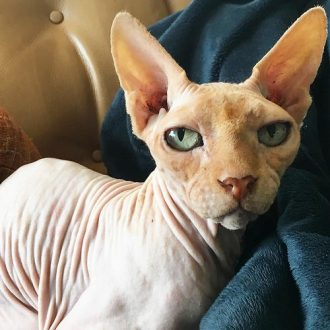 bald cats sphynx