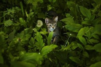 ivy poisonous to cats