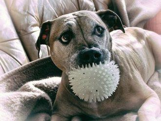 pitbull dog toys
