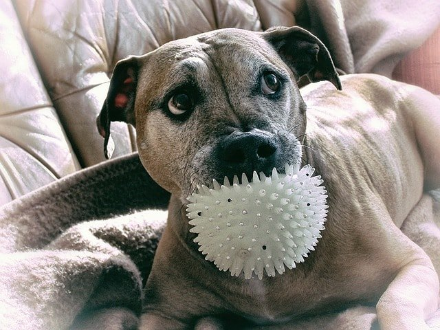 Toys You Should Get : Top dog toys you should get for your pit bull
