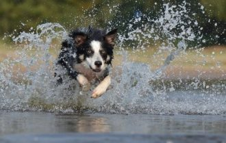 border-collie-jump-water-heeler