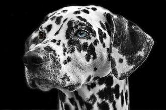 dalmatians-dog-animal-head-min