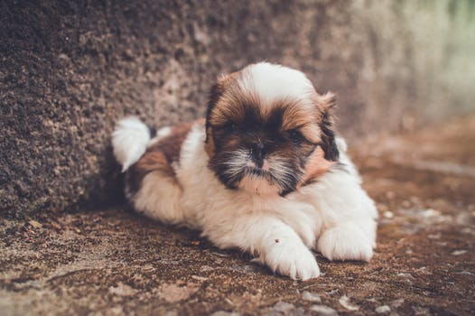 We Rate The Top Foods For Your Shih Tzu 7 Brands To Try