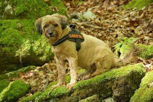 measure harness pup