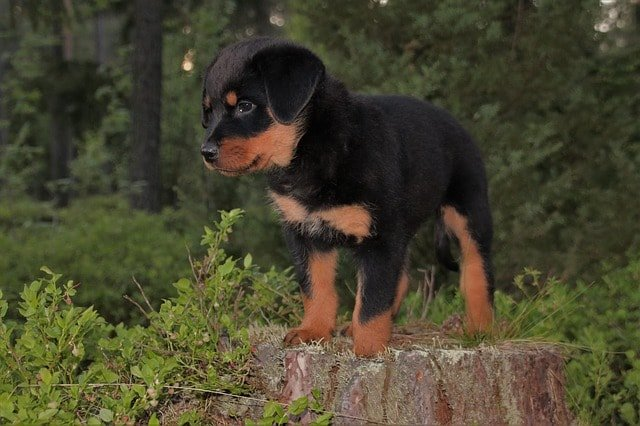 Best Dog Food For Rottweilers My Top 10 Picks Pros Amp Cons