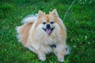 german spitz size