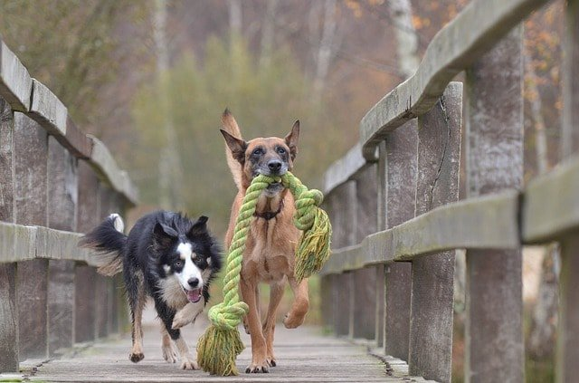 two dogs chase rope toys