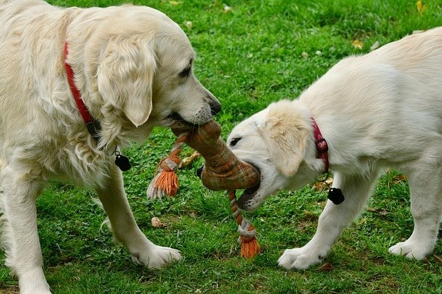 dogs fight over toys