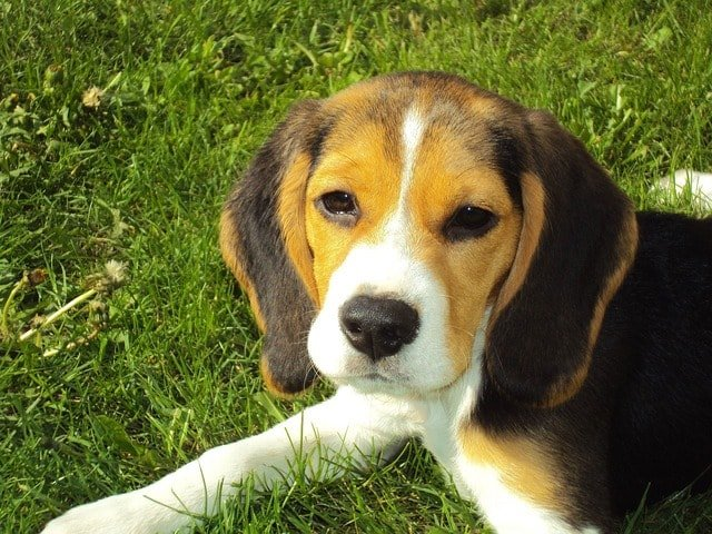 beagle puppy temperament