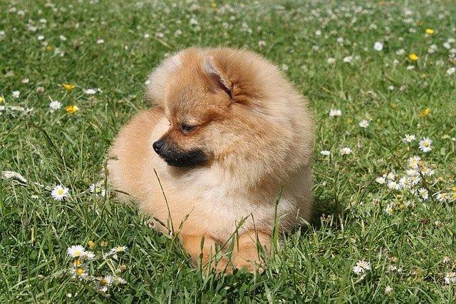 German Spitz Vs Pomeranian All You Need To Know