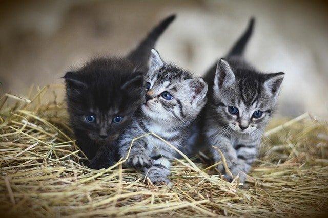 4 week old baby kittens