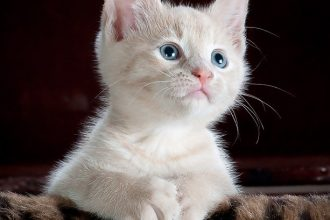 white kitten with claws