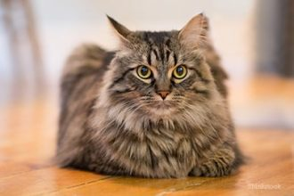 best litter boxes for maine coon cats