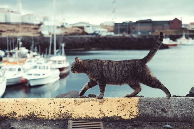 tabby cat with visible primordial pouch walking