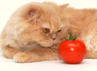 Can cats eat tomato sauce