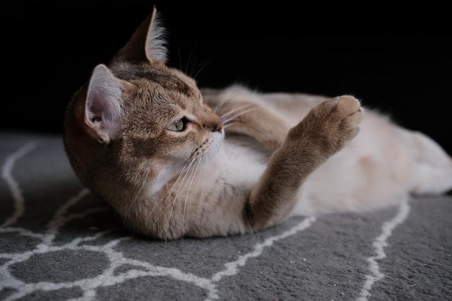 cat looking petlibro automatic feeder